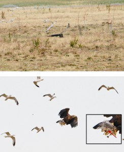 Seeadler erbeutet ein beringtes Sturmmöwenküken auf der Kontrollfläche Wiese am 12. Juli 2015 (Fotos: D. Köhler)